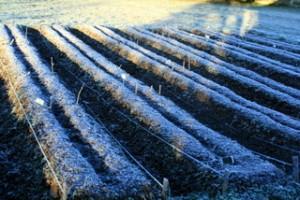 jan09_garlic-beds_light-snow1