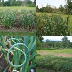 Wonderful-garlic
