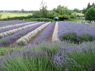 purple-white_lavender