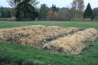 Garlic-beds-under-mulch