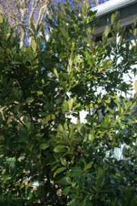 bay_leaf_tree