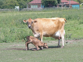 Brown-family-cow-newborn