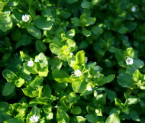 Chickweed is a fast grower