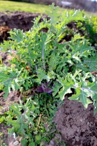 Kale-early-March