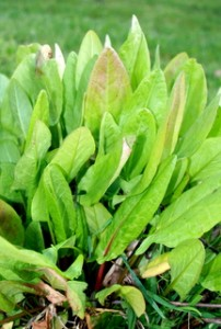 French Sorrel is very tangy