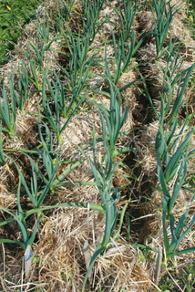 Mulch is pulled back and blood meal sprinkled between rows of garlic