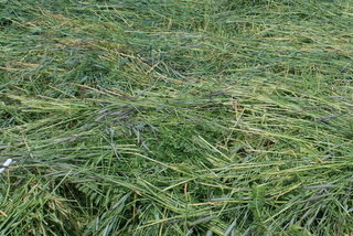 A rye-clover-vetch mix makes a fine green manure