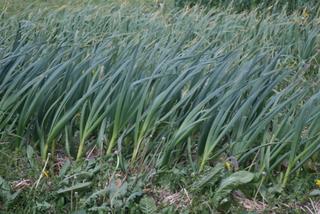 Windblown Garlic
