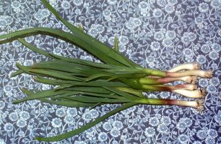 Green Garlic, aka Garlic Scallions