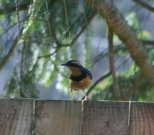 Varied Thrush on fence