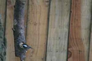 Chickadee at log birdfeeder