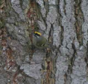 Golden-crowned sparrow eats off the trunk