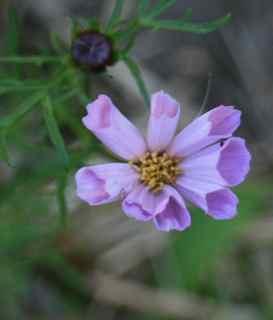 """""""Rose Bon Bon"""" Double Cosmos from Renee's Garden Seeds"""
