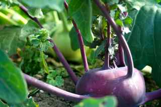 """Crispy Colors Duo"" Gourmet Kohlrabi from Renee's Garden Seeds"