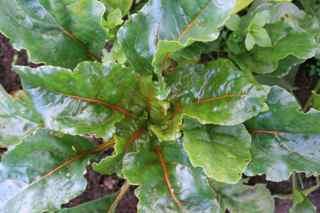 Golden Gourmet Beets from Renee's Garden Seeds