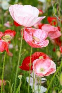 Shirley Poppies - Falling In Love - from Renee's Garden Seeds