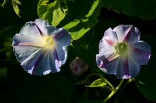 """Dawn Star"" Heirloom Morning Glory from Renee's Garden Seeds"