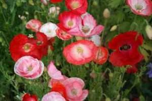 Shirley Falling In Love poppy bouquet