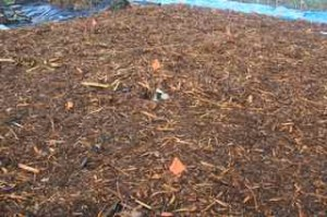 Woodchip and bark mulch over cardboard around blueberries