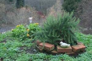 rosemary shrub over our mother's gravesite