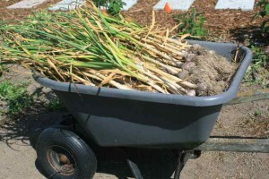 wheelbarrow full of garlic