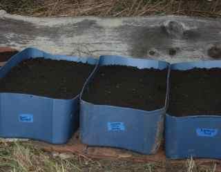 Garlic bulbils planted in tubs