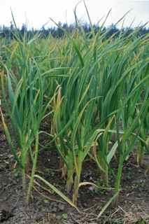 Garlic bulbils in field