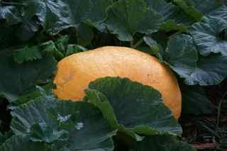 Rising Phat Jack Pumpkin