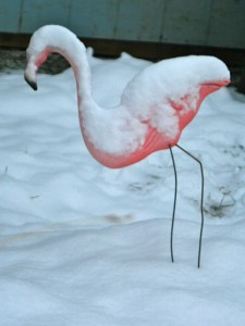 In case you doubted that I really have a pink flamingo in my back yard, this one wishes she were in Florida.