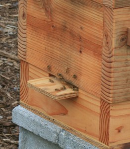 Bees at the Warre Hive entrance