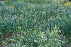Garlic Maze on Memorial Day 2012