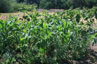 Corn outgrows favas; sunflowers keep up (Barbolian Fields photo)