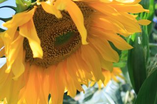 Glorious Gargantuan Sunflower (Barbolian Fields photo)