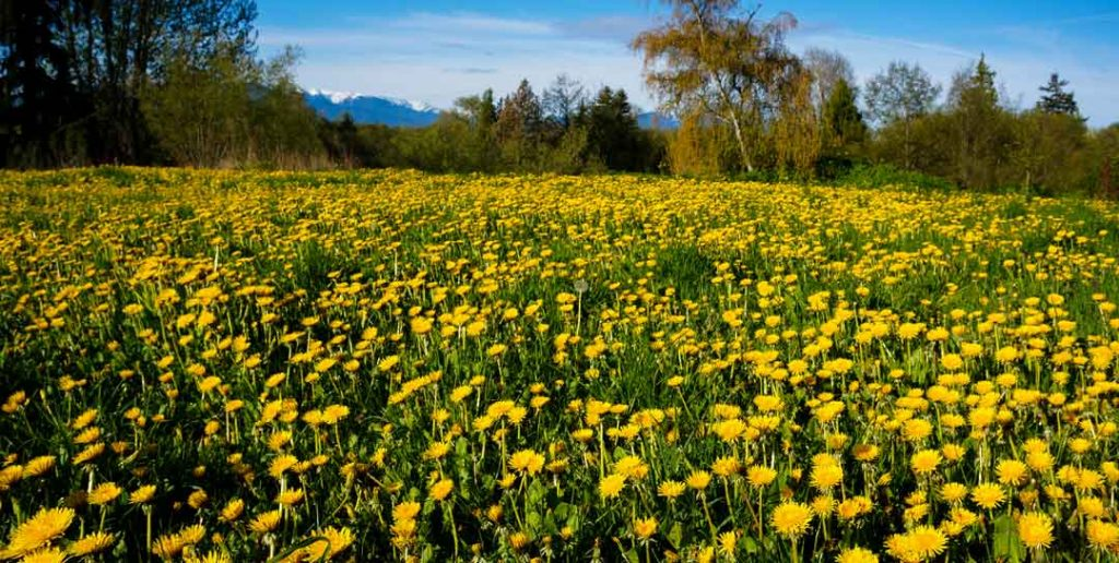 Dandelion fields forever at Barbolian Fields