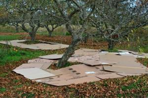 Cardboard mulch in orchard