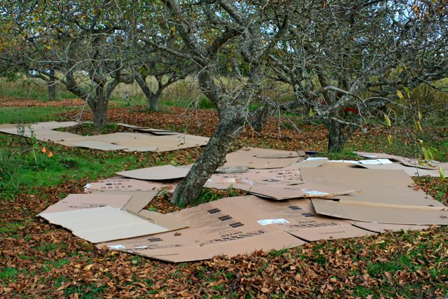 Cardboard mulch in orchard at Barbolian Fields