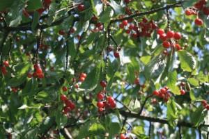 So many cherries!