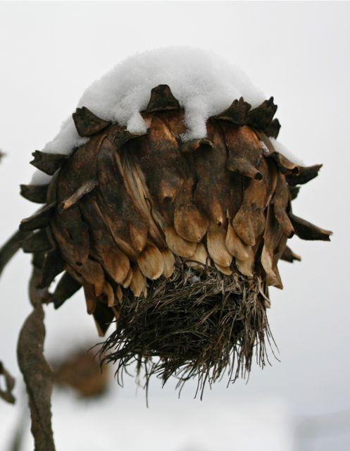 Winter cardoon