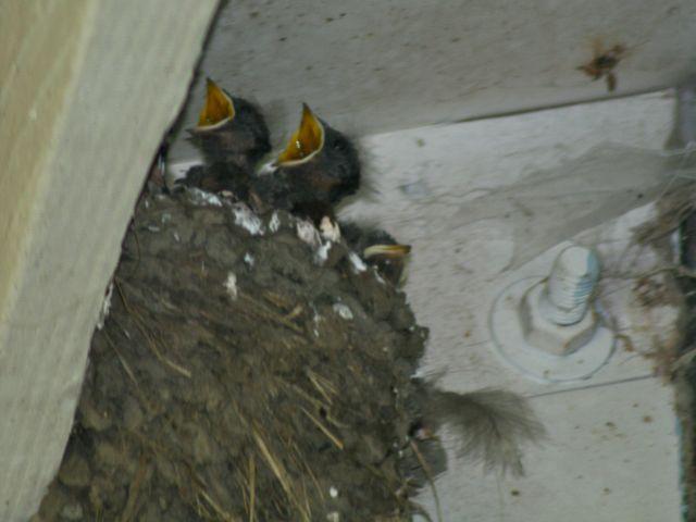 Swallow chicks