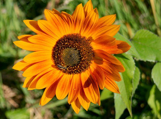 Sunflower & honeybee