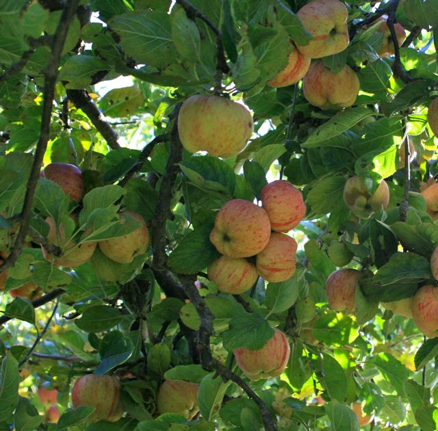 Apple bumper crop