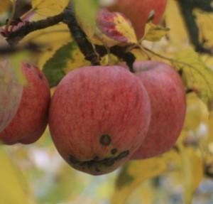 apple blemish
