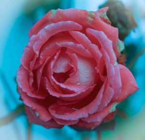 New Year's Day Rose