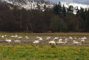 Snow Geese have returned! Great day!