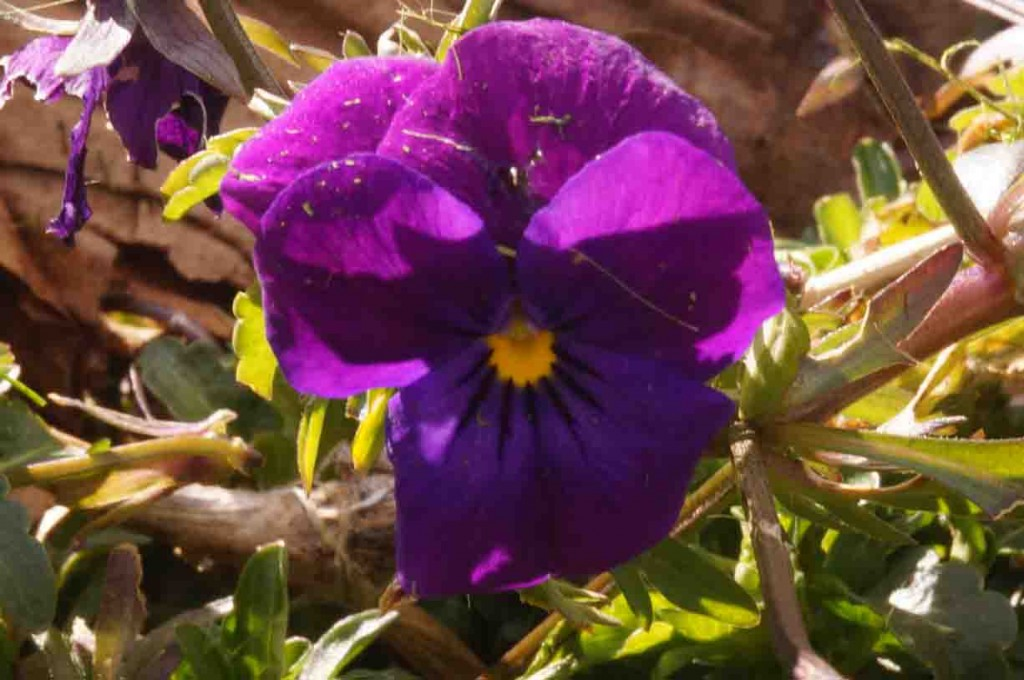 Barbolian Fields March Blooms: pansy-viola