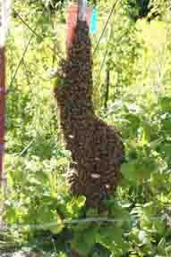 Swarm on fencepost