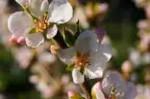 Closeup of Nanking Cherry blossoms