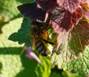 Purple deadnettle and bee