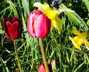 Tulip-daffodil