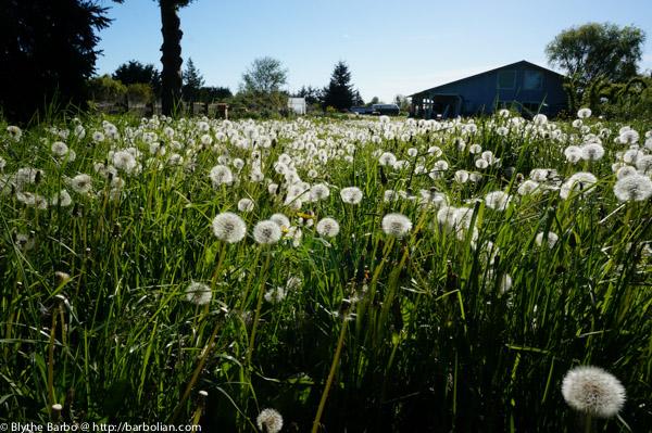 Field of Dandelion Fluffs